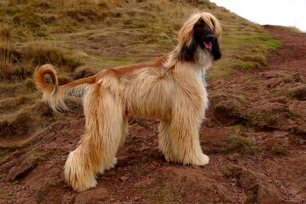 e3bd285ff21 Nejstarší psí plemena světa  Afghánský chrt - Mazličkoviny